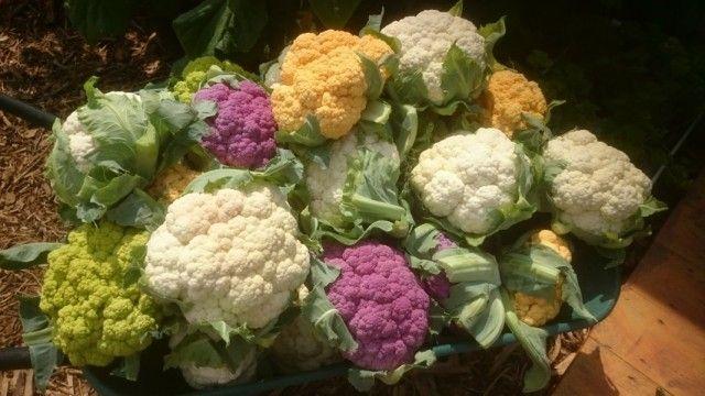 10 советов как вырастить большой урожай цветной капусты
