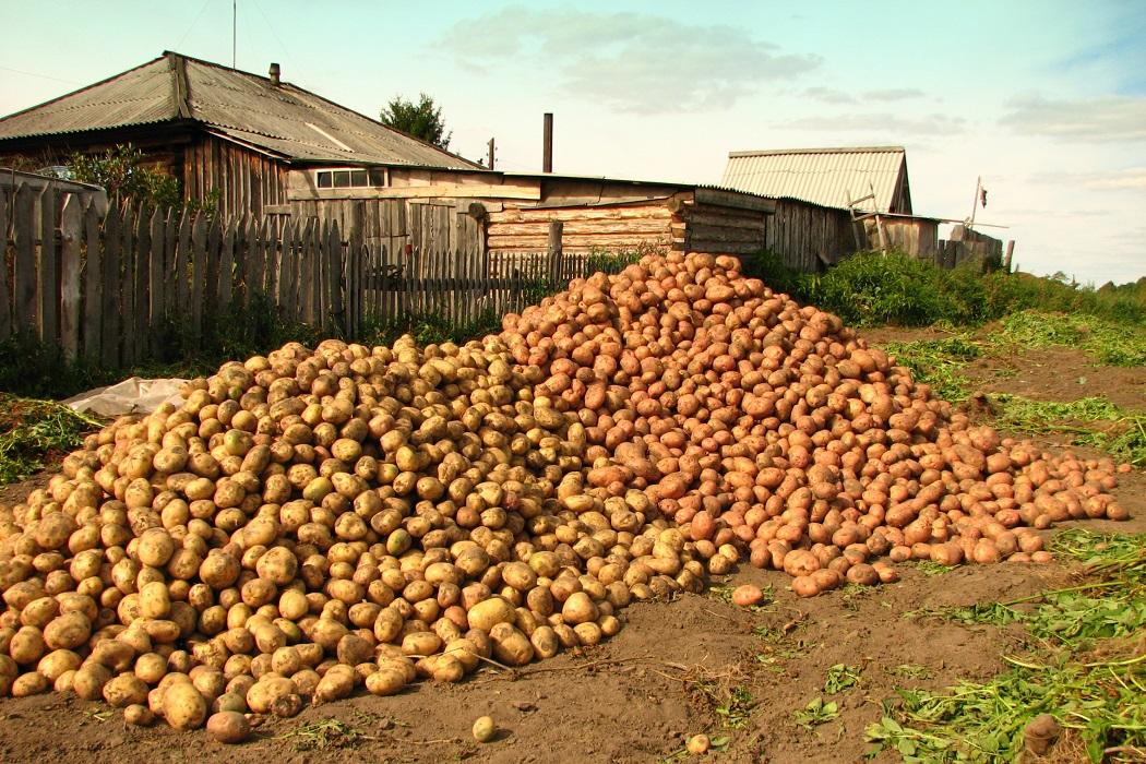700 кг картофеля с сотки: опытный картофелевод поделился секретами