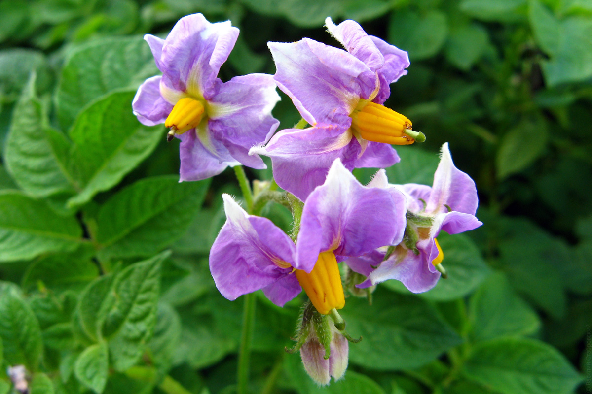 Удалять ли цветки картофеля?