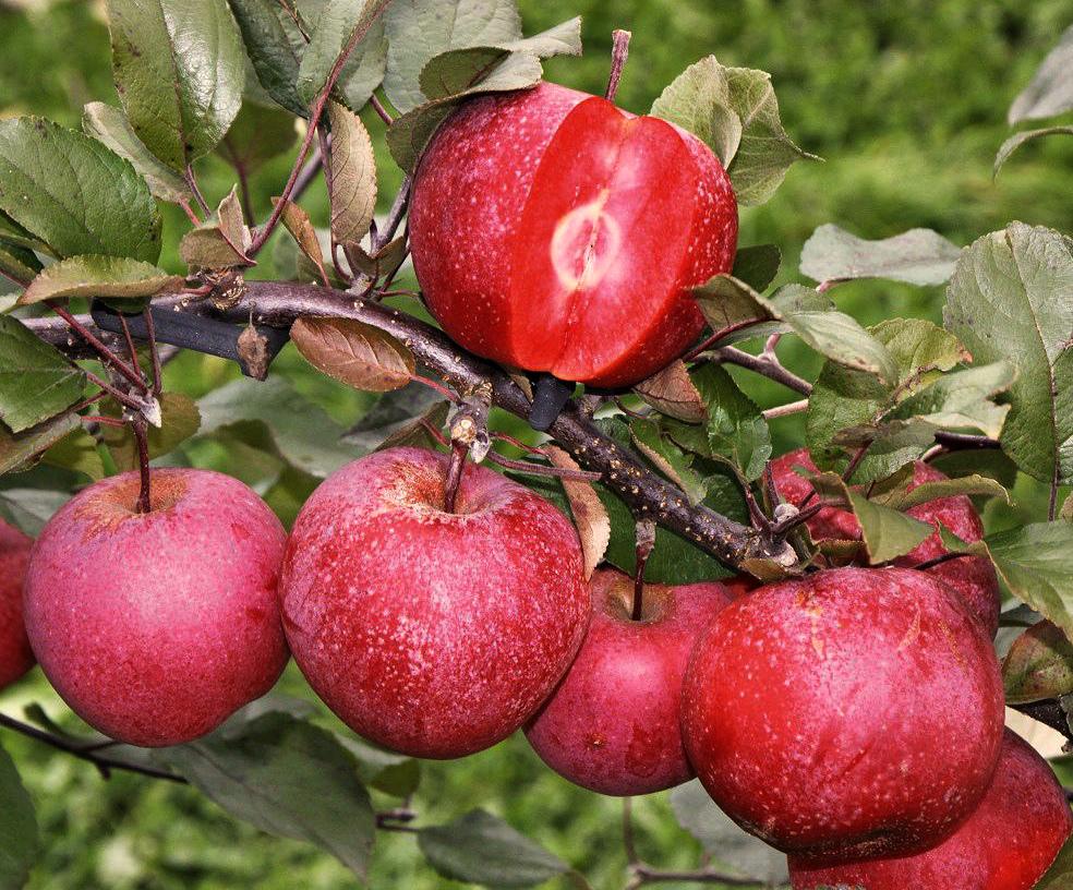 Яблоки с ягодной ноткой