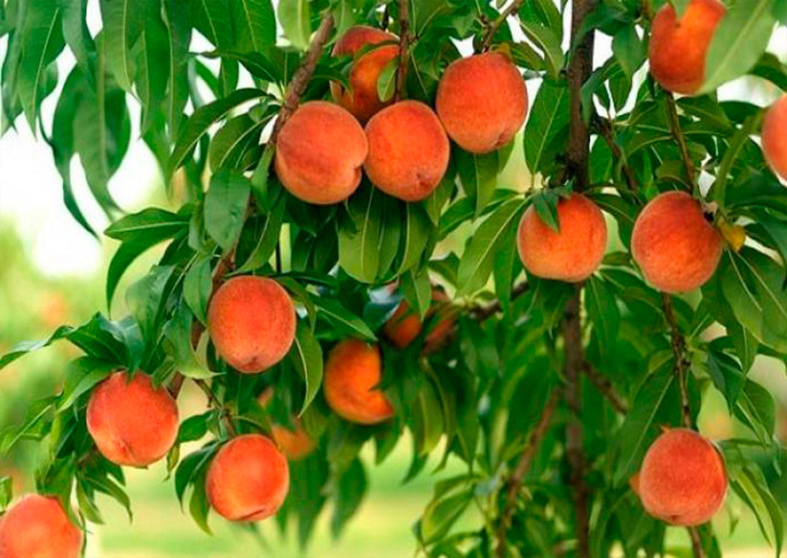Секреты выращивания персиков: все дело в почве