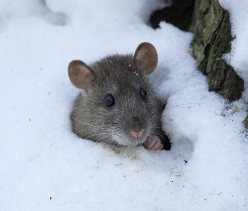 Мышей отгоняет зола