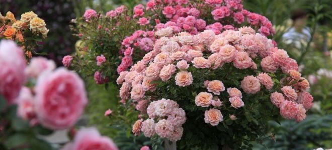 Готовим розы к морозам