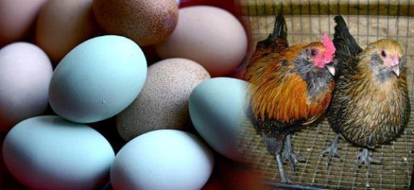 Где куры несут цветные яйца
