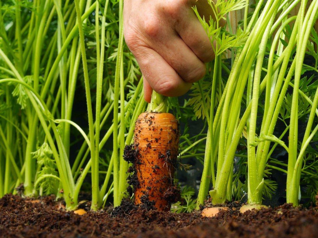 Ни одна морковь не пропадает!