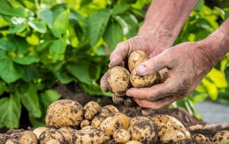 Как понять, когда убирать картошку?