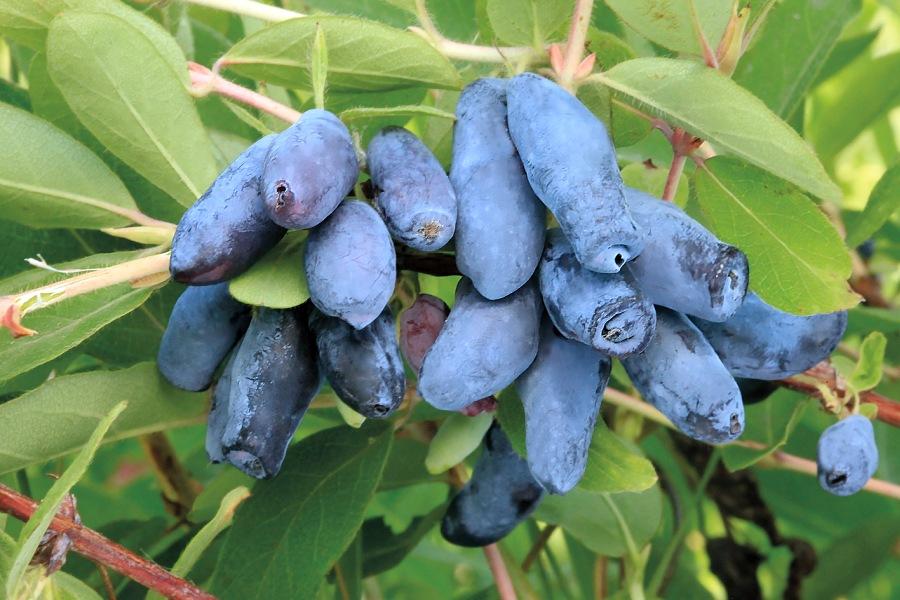 Как выращивать жимолость и получать обильный урожай