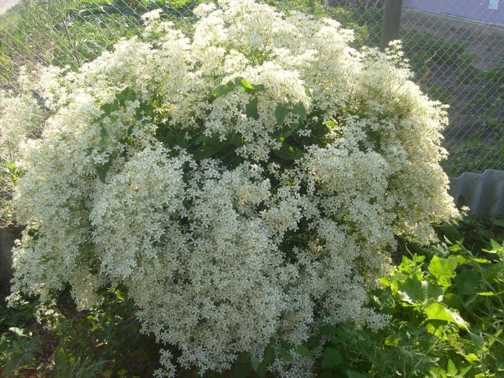 Клематис жгучий - белое облако с дивным ароматом