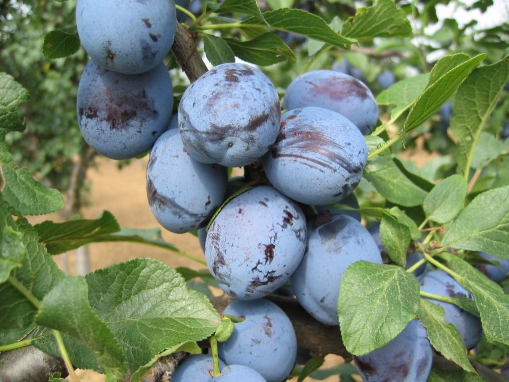 Секреты выращивания крупных и сладких слив