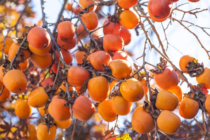 Хурма - золотые яблоки к зимнему празднику