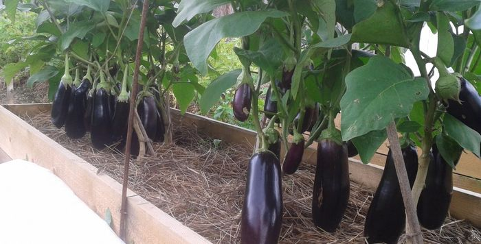 Выращиваем баклажан: тонкости агротехники