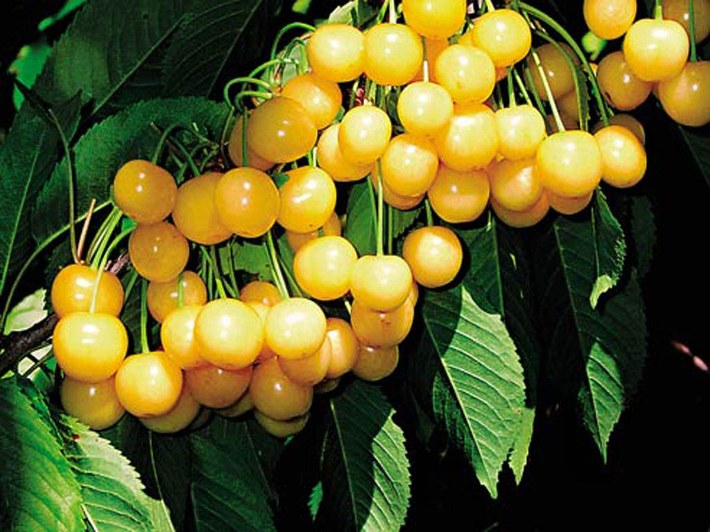 Новинки плодового сада