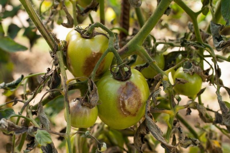 Как не пустить фитофтороз в огород