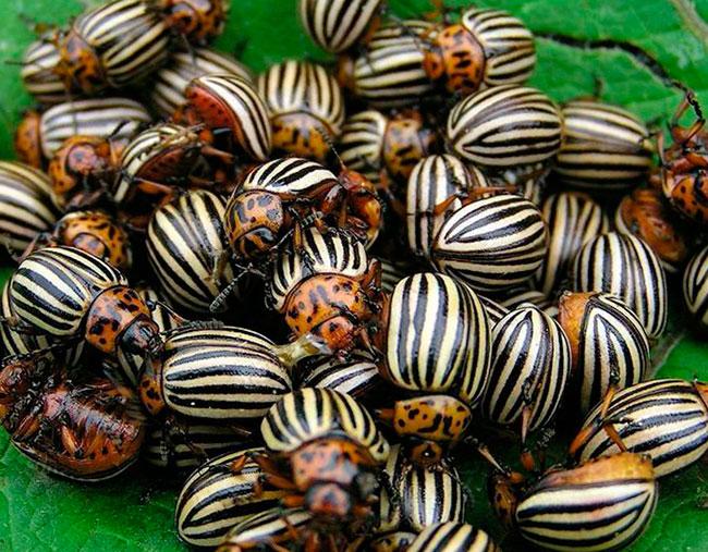 Жука жуком вышибают