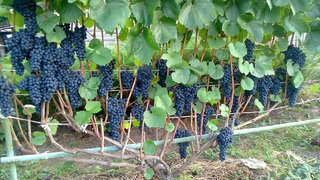 Как сохранить виноград от холодов