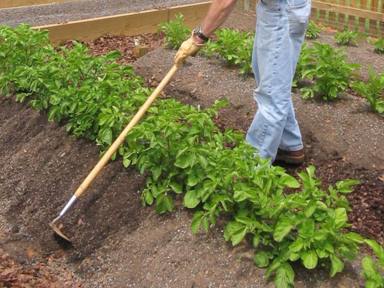 Окучивание овощных растений. Для каких культур оно полезно, а для каких - нет?