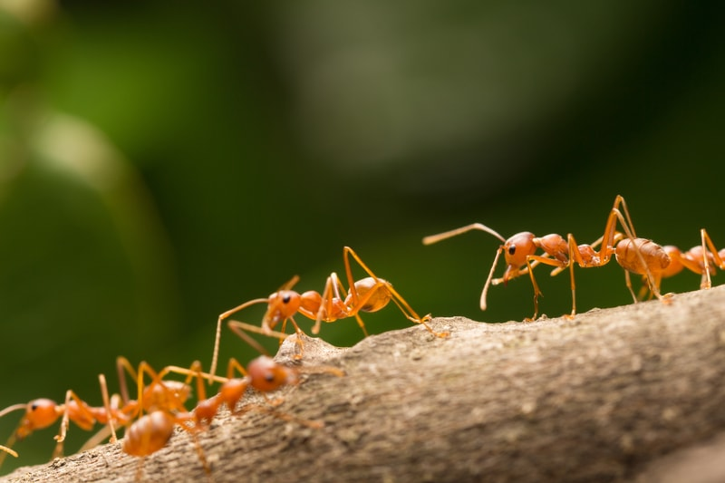 Желтые муравьи прогнали черных