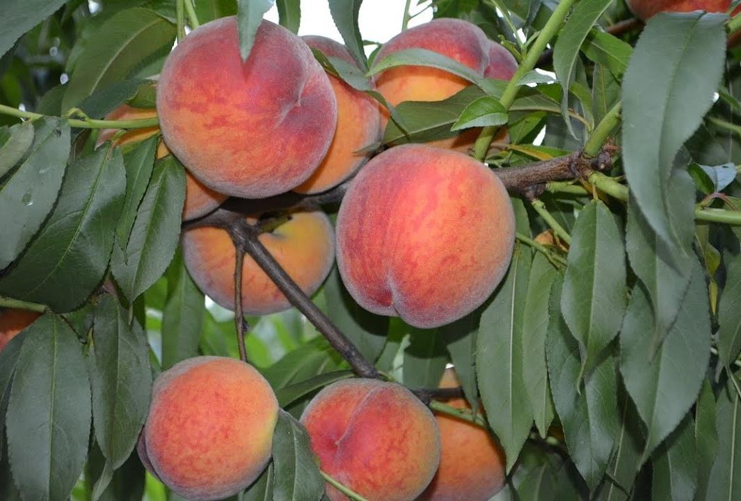Чтобы персики были крупными и сахарными