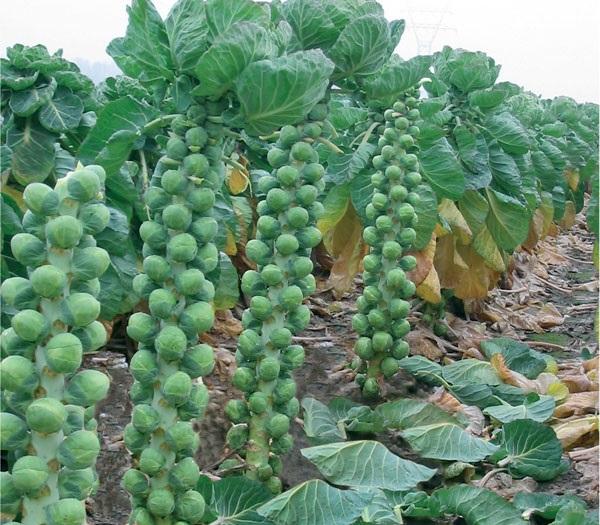 Брюссельская капуста и кольраби: разбираемся в особенностях агротехники