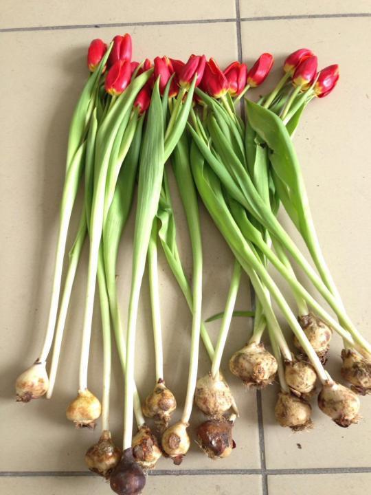 Приживутся ли луковицы тюльпанов?