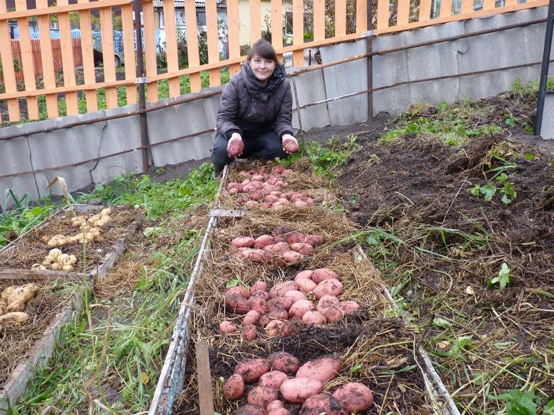 Картофель - в органических траншеях