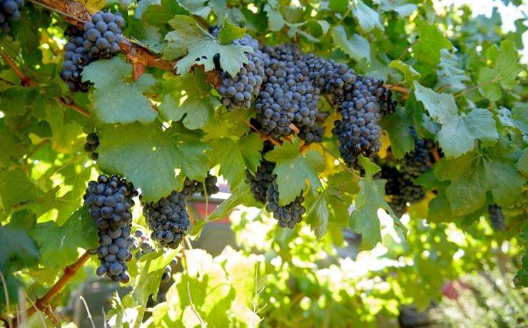 Заботы виноградаря в августе