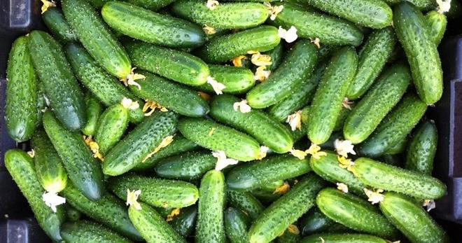 Огурцы: сажаю меньше, а урожай собираю больше