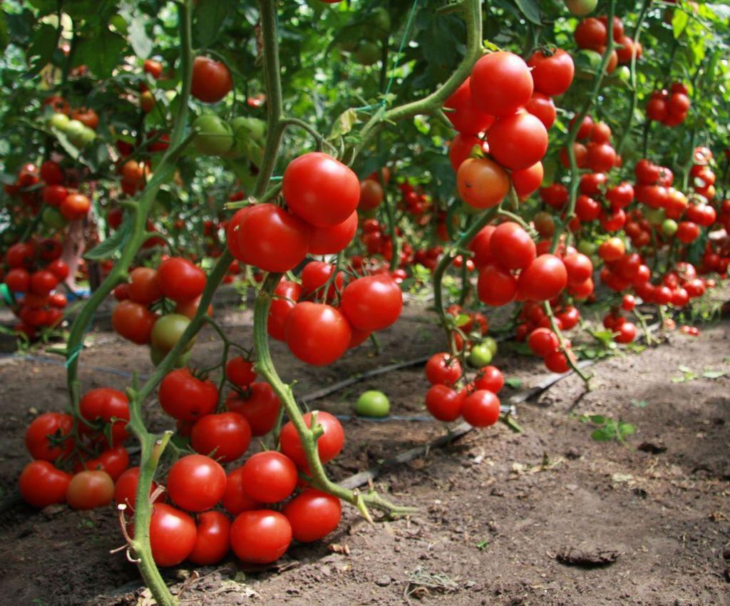 На каких грядках томаты будут расти лучше всего, а на каких часто болеть?
