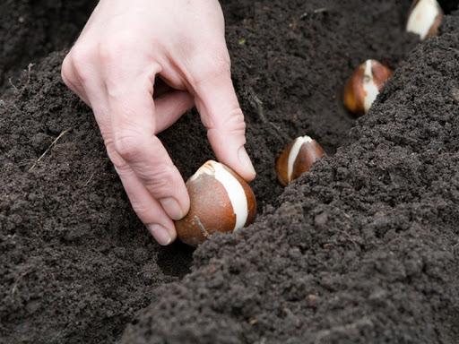 Основные правила посадки луковичных цветов
