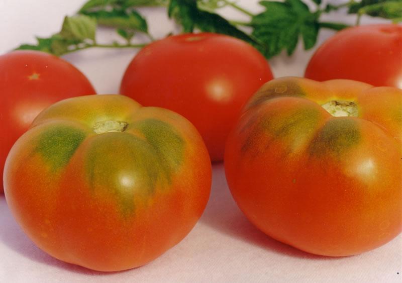 Гранд и Челнок: мои любимые томаты для открытого грунта