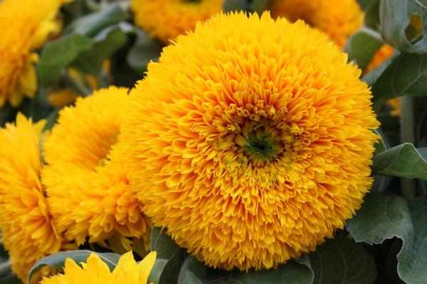 Декоративные подсолнухи: как выращивать и ухаживать