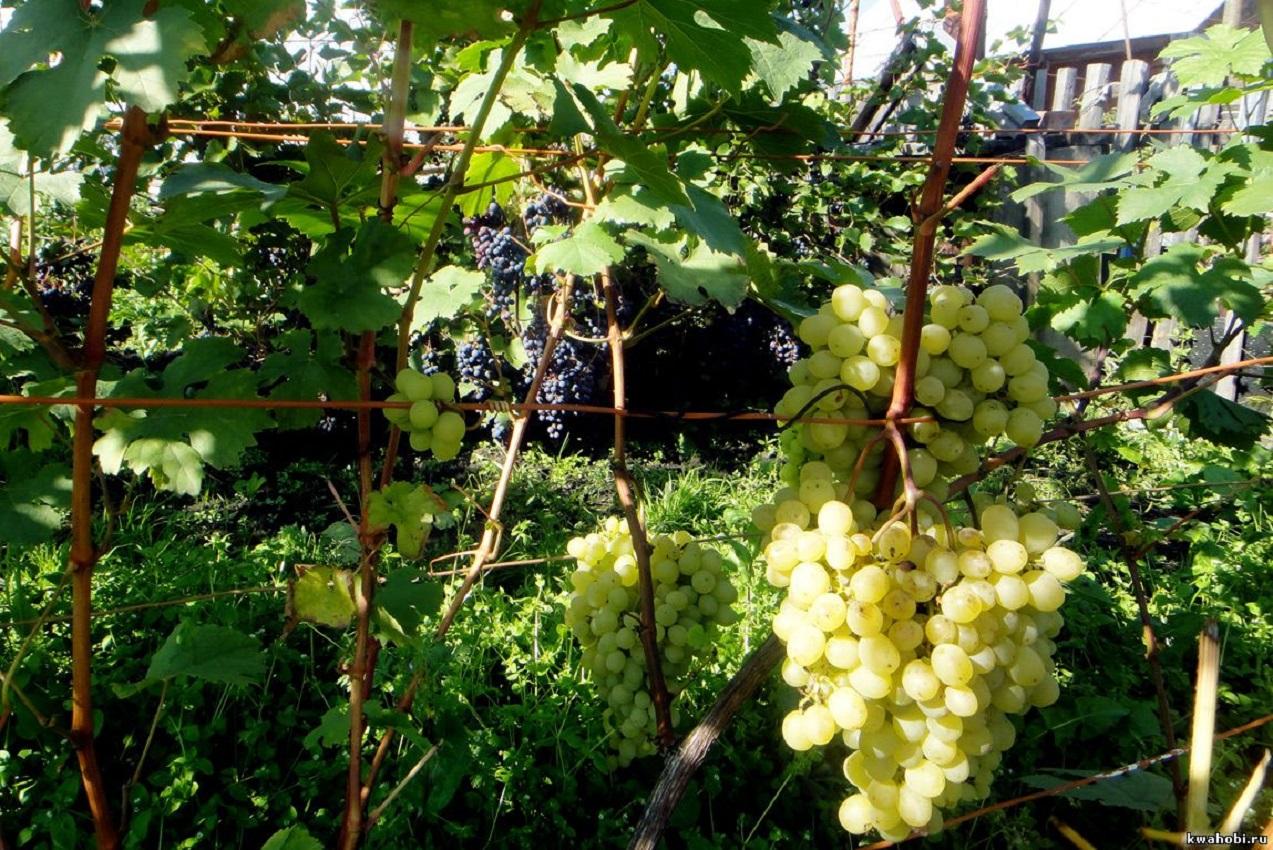 Виноград в Сибири