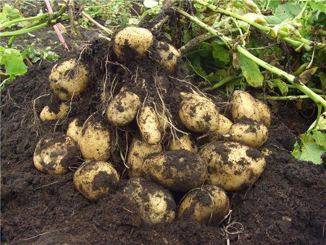 Как сохранить сортовые качества картофеля