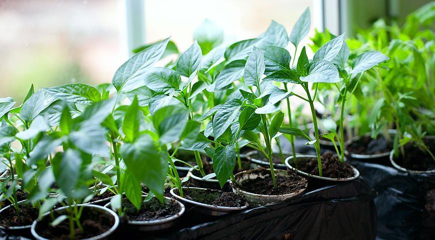 Об особенностях выращивания рассады некоторых культур