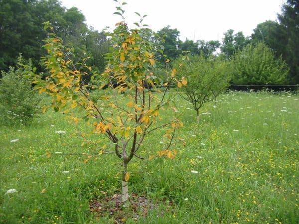 Как оживить слабое дерево