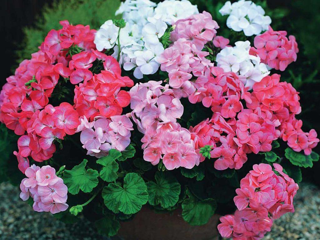Секреты пышного цветения пеларгоний