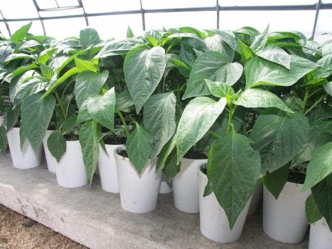 Выращивание ранних овощей
