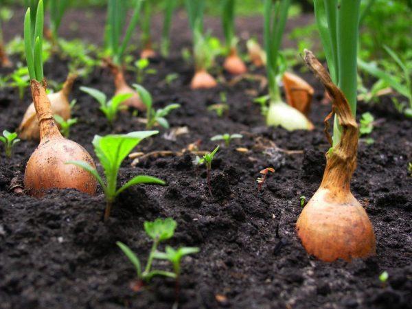 Почему хороший севок дает плохой урожай