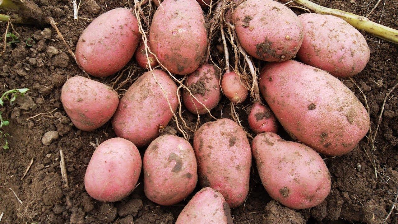 Уникальный сорт картофеля Уника