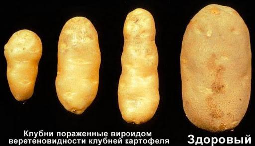 От вироида картофель не спасти