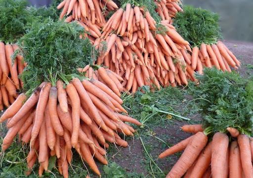 Несколько секретов выращивания моркови