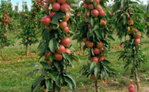 Особенности ухода за колонновидными яблонями