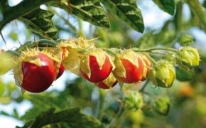 Паслен гулявниколистный: условия выращивания