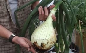 Лук Эксибишен: особенности агротехники
