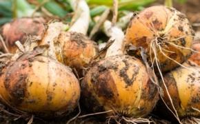 Чтобы луковицы были крупными