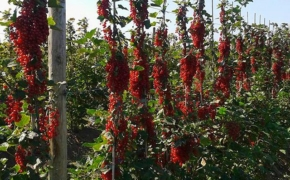 Красная смородина на шпалере