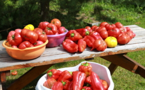 Секреты урожая перцев и томатов
