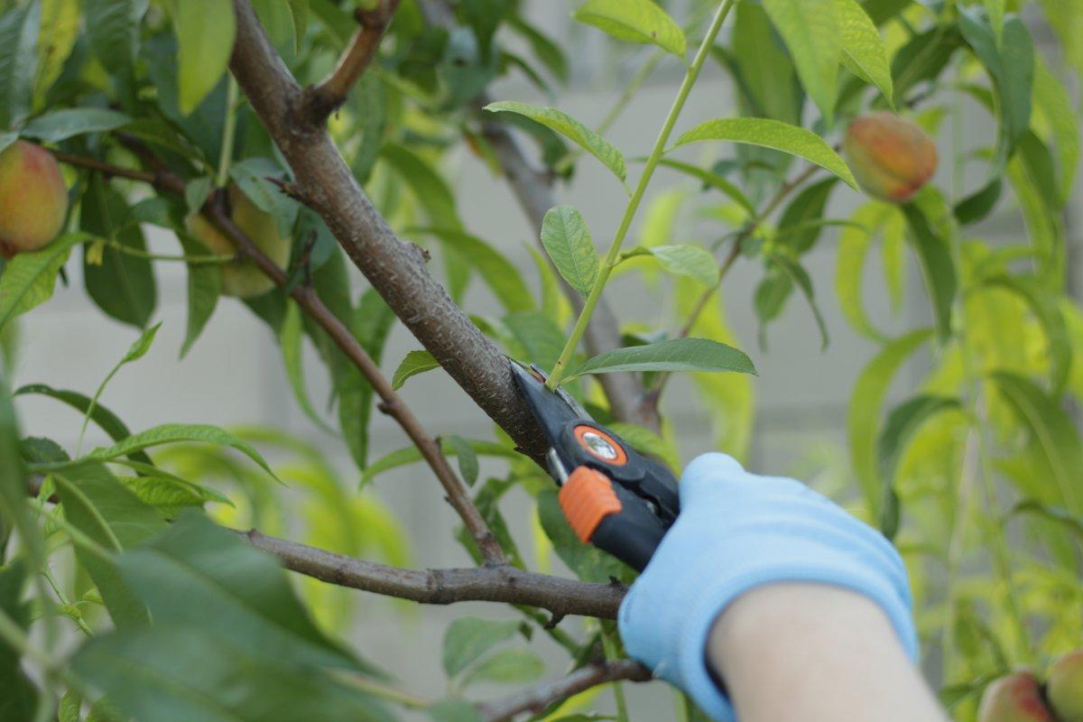 Запоздалый рост побегов у плодово-ягодных культур