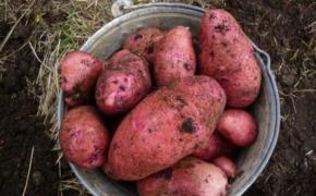 Достойнейшие из достойных сорта картофеля