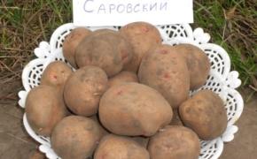 Сорт картофеля Саровский - один из лучших